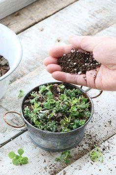 セリアのブリキ缶で多肉セダムを増やそう♪ Cacti And Succulents, Planting Succulents, Cactus, Green Flowers, Botany, Container Gardening, How To Dry Basil, Orchids, Harvest