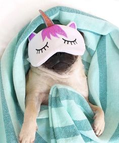 Princess pug are beatiful ✨✨✨