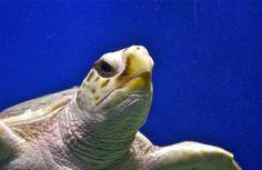 Sea turtle from below; Adventure Aquarium; Camden, New Jersey, USA.  March 2013.