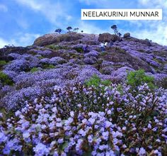 This is the year for Neelakurinji flower (neela=blue; kurinji=mountain) in Munnar, Kerala, India. RT Neelakuranji blooms at an interwal of 12 years. Blooms in the valley of munnar and Western ghats. Munnar, Nature Photography, Travel Photography, E Sport, Kerala Tourism, Picture Story, Hill Station, Travelogue, Beautiful Places To Visit