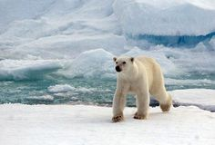 Polar bear roaming the pack ice