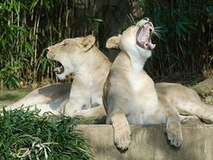 duet #Lion