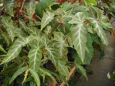 begonia angulata