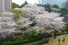 Sakura@takanawa