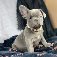Amazing French Bulldogs | AKC French Bulldog Puppies For Sale | French Bulldog Breeder : AVAILABLE PUPPIES Frenchie Puppies For Sale, French Bulldog Breeders, Cute Bulldogs, Bulldog Puppies For Sale, Teacup French Bulldogs, Black French Bulldogs, Cute Little Puppies, Puppy Names, Cute Animals