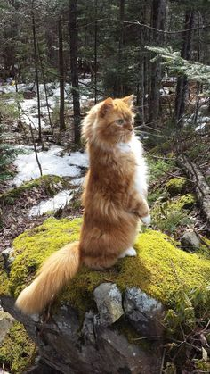 Interested in owning a Maine Coon cat and want to know more about them? We've made this site to tell you all you need to know about Maine Coon Cats as pets Pretty Cats, Beautiful Cats, Animals Beautiful, Crazy Cat Lady, Crazy Cats, Kittens Cutest, Cats And Kittens, Cats 101, Cats Meowing