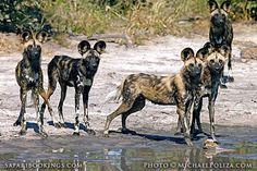 Wild dogs drinking (Chobe National Park, Botswana) - Botswana travel guide: https://www.safaribookings.com/botswana