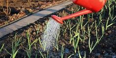 Подкормки озимого чеснока Summer House Garden, Home And Garden, Gardening For Beginners, Gardening Tips, Small Farm, Farm Gardens, Garden Tools, Diy And Crafts, Lose Weight