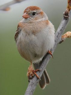 The Field Sparrow - Spizella pusilla, is a small sparrow. These birds are permanent residents in the southern parts of their range. Northern birds migrate to southern United States and Mexico. Photo by Chris Thomas.