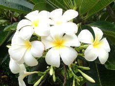 Tiare flower.