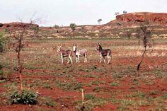 Wild donkeys in Outback Australia