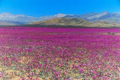 Atacama Desert in Chile, The Driest Place On Earth Has Erupted In Wild, Pink Flowers Desert Flowers, Pink Flowers, Deserts Of The World, Dry Desert, Places Of Interest, Amazing Flowers, Holiday Destinations, Natural Wonders, Holiday Travel