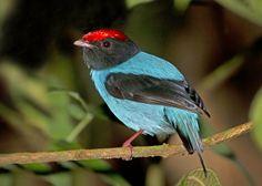 Tangará. Foto Lester Scalon. http://viajeaqui.abril.com.br/national-geographic/blog/brasil-das-aves/a-mata-atlantica-revelada/2013/02/05/?utm_source=redesabril_viagem