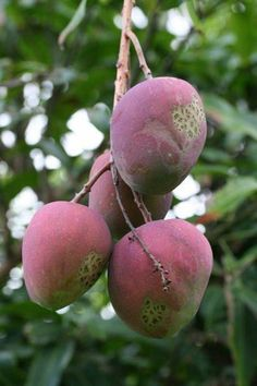 Health Benefits of Mango: cancer prevention improves vision high in copper improves sex life alkalizes the body improves digestion lowers cholesterol improves memory and concentration Natural Cold Remedies, Cold Home Remedies, Cough Remedies, Holistic Remedies, Herbal Remedies, Health Remedies, Mango Health Benefits, Home Remedies For Pimples, Home Remedy For Cough