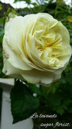 David Austen rose by La lavande sugar florist.