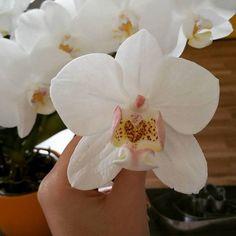 Bettys Kunst und Tortenwelt: Zuckerblumen von Bettina Schweiger Plants, Orchids, Homemade, Kunst, Plant, Planets
