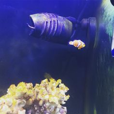 #ocellaris #ocellarisclownfish #clownfish #pezpayaso #amphirionocellaris #reef #reeftank #acuariomarino