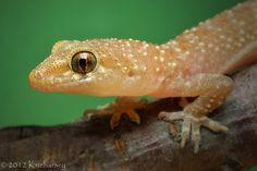 European house gecko (Hemidactylus turcicus). D200, Nikkor Micro 105/2.8D, SB-800