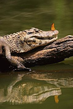 Black caiman {Caiman niger} basking with butterfly on nose  Manu NP, Peru, South America