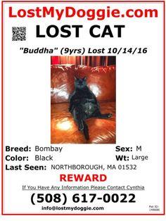Lost Male Black Bombay Cat Named Buddha: Northborough, MA Bombay Cat, Cat Names, Pet Id, Lost & Found, Buddha, Cats, Black, Gatos, Black People