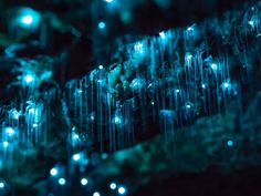 A must-do list in New Zealand consists mainly of sighting the infamous glow worms. Here are 10 best places to spot glow worms in New Zealand Bioluminescent Animals, Glow Worm Cave, Cave Quest Vbs, Limestone Caves, Natural Phenomena, After Dark, Mother Earth, Mother Nature, Fungi