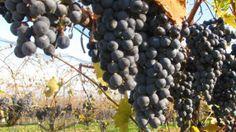 The Ice House Winery Taste Testing and Wine Tours Niagara Tours, Wine, Fruit