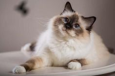 If you want a friend for life, check out our list of the top 10 friendliest cat breeds. If you want a friend for life, check out our list of the top 10 friendliest cat breeds. Birman Kittens, Cute Kittens, Siamese Cats, Cats And Kittens, Cats 101, Popular Cat Breeds, Rare Cat Breeds, Rare Cats, Kitty Cats