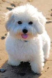 A coton de tulear might be the next dog for us. Sounds like they have super temperaments and are adorable.