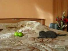 Funny Kitten Terrified of Apples. #LOL