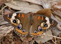 native plant food sources for butterflies