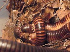 echinops - Telodeinopus assiniensis KAMERUN