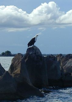 Fish Eagle, Lake Malawi