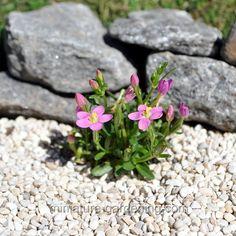 Miniature Gardening - Centaurium scilloides