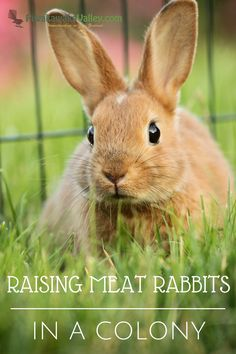 Raising meat rabbits in a colony - A complete guide to raising in a colony. Sustainable and self sufficient meat source for even a small backyard.