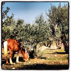Olive orchard in Languedoc