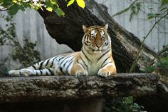 Tiger - The emperor of the zoo | Flickr - Photo Sharing!