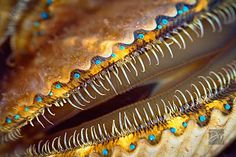 Scallop with rows of baby blue eyes.   David's photo blog: My Best Shot at Bay Scallops