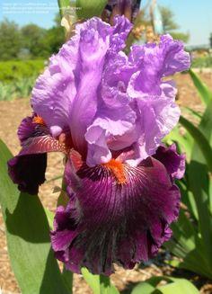 TB Iris germanica 'Bellarosella' (Begley, 2005)