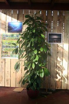 Plante exotique int rieur yucca double plante for Bouture yucca exterieur