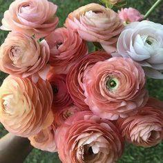 Types Of Flowers, Love Flowers, Wild Flowers, Beautiful Flowers, Wedding Flowers, Ranunculus, Peonies, Spring Blooming Flowers, Flower Farm