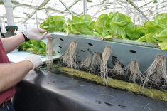 Thousands of Americans are Turning to Hydroponic Technique Hydroponic Growing, Hydroponic Gardening, Gardening Tips, Vegetable Gardening, Backyard Coop, Chickens Backyard, Container Plants, Container Gardening, Dandruff Essential Oil