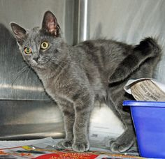 Salem is an adoptable Domestic Medium Hair Cat in Barnwell, SC.| Barnwell County Animal Shelter | Pet ID # F722 | The People-Sentinel