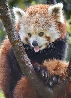 Red Rover - A red #panda tries to stay dry at the San Diego Zoo