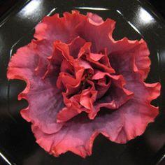 Hibiscus sp 'Bayou Rose' Cajun Series Tropical by BonniesGarden Hibiscus Bush, Hibiscus Rosa Sinensis, Hibiscus Plant, Hibiscus Flowers, Large Flowers, Red Flowers, Beautiful Flowers, Ornamental Plants, Rare Plants