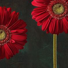 gerbera daisies ~ prettyredstuff:  gerbera and playful mood by *FloriandraMore pretty red pics here =]