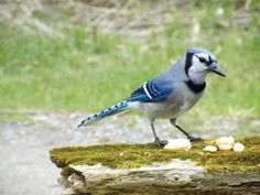 Articles - The talkative blue jay