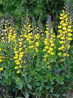 Baptisia 'Decadence® Lemon Meringue', full to part sun, 3' tall, blooms late spring to early summer, perennial