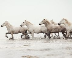 Horses of the Camargue, France