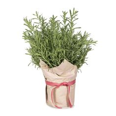 Wrapped Lavender for your kitchen window, your favourite plant for your favourite place :)