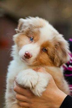 Australian Shepherd puppy. Now if that ain't cute, idk what is